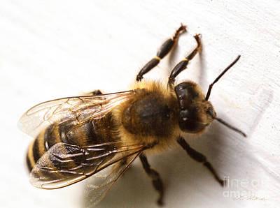 Genus Photograph - Honey Bee  by Iris Richardson