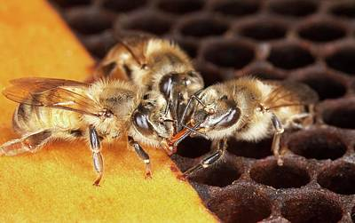 Trio Photograph - Honey Bee Mouth-to-mouth Feeding by Stephen Ausmus/us Department Of Agriculture