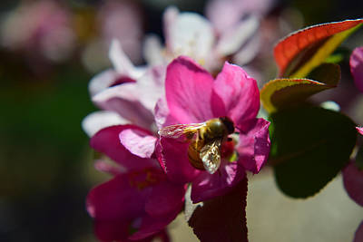 Honey Bee On Apple Blossom Art Print