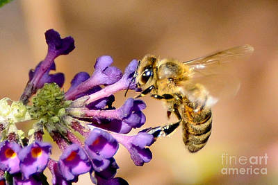 Honey Bee On Butterfly Bush Art Print by Jean A Chang