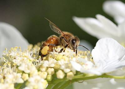 Photograph - Honey Bee On Hobble Bush by Lucinda VanVleck