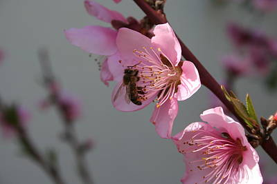 Honey Bee On Open Peach Tree Blossom Art Print by Tracey Harrington-Simpson