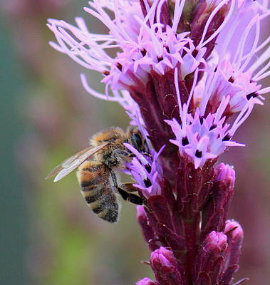 Photograph - Honey Bee On Pink by Trent Mallett