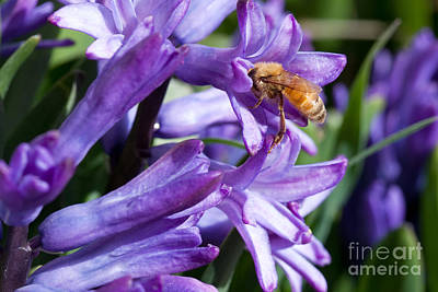 Photograph - Honey Bee On Purple Flowers by Cindy Singleton