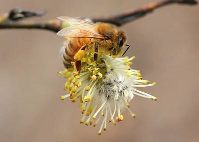 Photograph - Honey Bee On Willow by Lucinda VanVleck