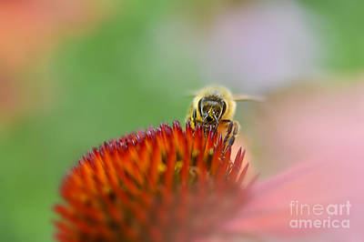 Photograph - Honey Bee Pastel Background by Dan Friend