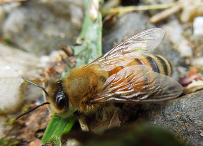 Art Print featuring the photograph Honey Bee by Pete Trenholm