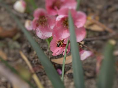 Photograph - Honey Bee Pollinating Quince Blossoms by MM Anderson