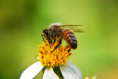 Tickseed Photograph - Honey Bee by Rich Leighton