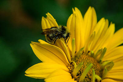 Apocrita Photograph - Honey Bee Searching by Douglas Barnett