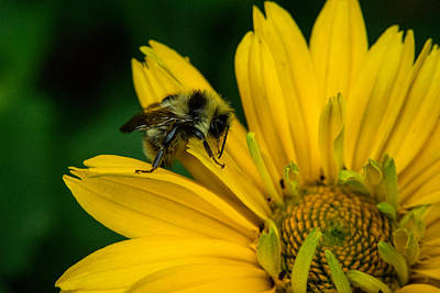 Apocrita Photograph - Honey Bee Searching For Pollen by Douglas Barnett