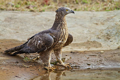 Buzzard Wall Art - Photograph - Honey Buzzard At The Waterhole, Tadoba by Jagdeep Rajput