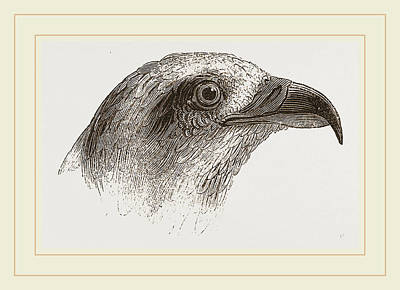 Honey-buzzard Art Print by Litz Collection