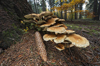Marasmiaceae Photograph - Honey Fungus Mushrooms And Pine Cone by Duncan Usher