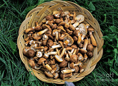 Marasmiaceae Photograph - Honey Mushrooms by Michael P. Gadomski