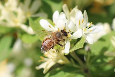 Honeybee And Honeysuckle Art Print by Lucinda VanVleck
