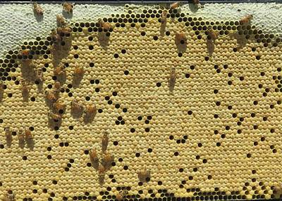 Photograph - Honeybee Brood Frame by Lucinda VanVleck