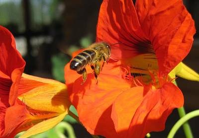Honeybee Entering Nasturtium Art Print
