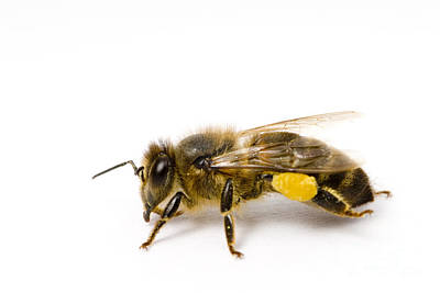 Photograph - Honeybee by Mark Bowler