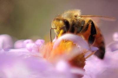 Photograph - Honey Bee  by Angela Murdock