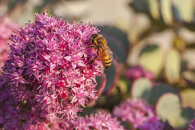 Close Focus Nature Scene Photograph - Honeybee On A Dark Pink Sedum Flower by Laura Berman