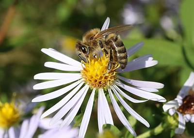 Photograph - Honeybee On Aster by Lucinda VanVleck