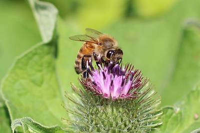 Honeybee On Burdock Art Print
