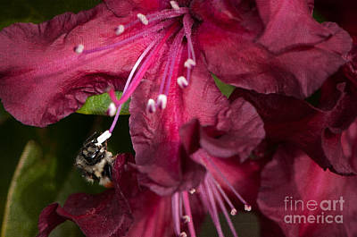 Photograph - Honeybee On Burgundy Rhododendron by Sharon Talson