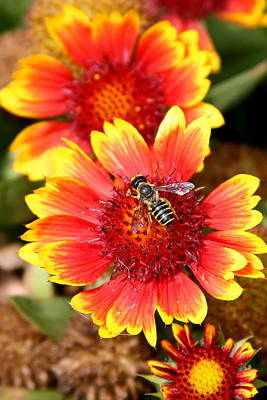Photograph - Honeybee On Coreopsis by Paula Tohline Calhoun