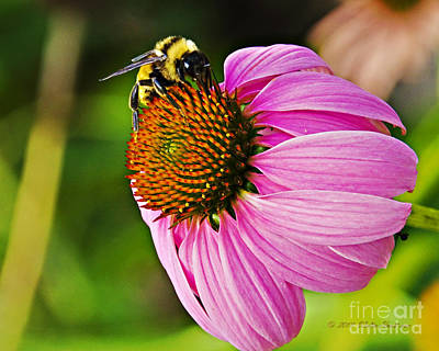 Photograph - Honeybee On Echinacea Flower by Walter Herrit