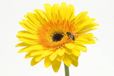 Photograph - Honeybee On Flower by Mark Bowler
