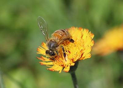 Photograph - Honeybee On Hawkweek by Lucinda VanVleck