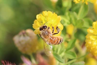 Honeybee On Hop Clover Art Print by Lucinda VanVleck