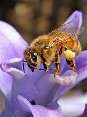 Genus Photograph - Honeybee On Hyacinth by Chris Berry