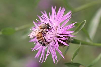 Honeybee On Ironweed Art Print by Lucinda VanVleck