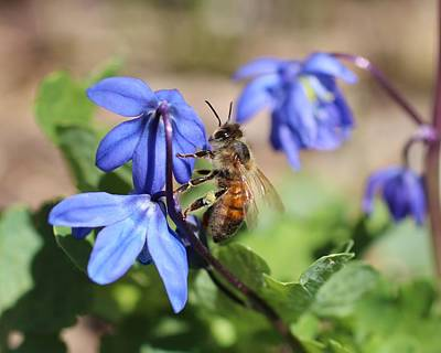 Honeybee On Siberian Squill Art Print