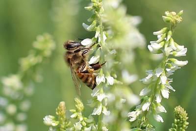 Honeybee On Sweet Clover Art Print by Lucinda VanVleck