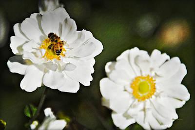 Photograph - Honeybee On White Flower  by Walter Herrit