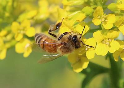 Photograph - Honeybee On Wild Mustard by Lucinda VanVleck
