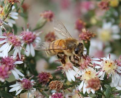 Honeybee Sipping Nectar On Wild Aster Art Print