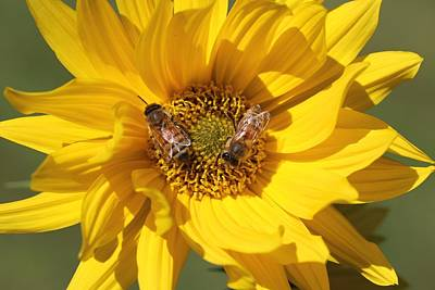 Photograph - Honeybees On False Sunflower by Lucinda VanVleck