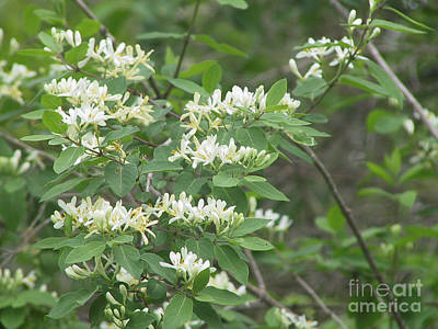 Photograph - Honeysuckle Blossoms by Conni Schaftenaar