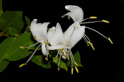 Photograph - Honeysuckle Flowers by Greg Vizzi