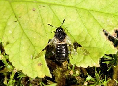 Honeysuckle Photograph - Honeysuckle Sawfly On A Fallen Leaf by Bob Gibbons