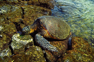 Photograph - Honu by Randy Sylvia