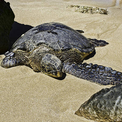 Laniakea Beach Photograph - Honu by Rod Sterling