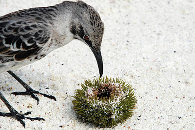 Galapagos Photograph - Hood Mockingbird by Sue Ford/science Photo Library