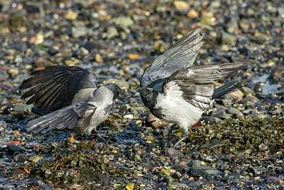 Two Crows Photograph - Hooded Crows Fighting by Simon Booth
