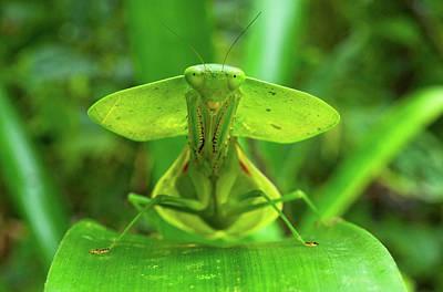 Hooded Mantis (choerododis Rhombifolia Art Print by Andres Morya Hinojosa