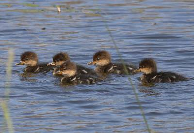 Photograph - Hooded Merganser Babies by Bonfire Photography
